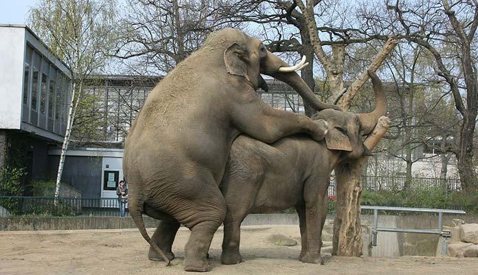 Two Elephants Having a Good Time